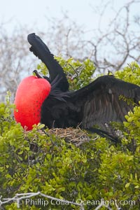 Magnificent frigatebird, adult male on nest, with raised wings and throat pouch inflated in a courtship display to attract females, Fregata magnificens, North Seymour Island