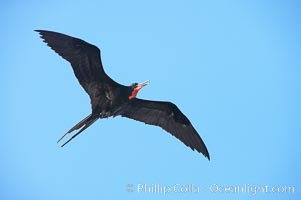 Magnificent frigatebird, adult male in flight, Fregata magnificens, Wolf Island