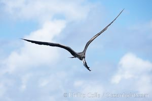 Magnificent frigatebird in flight carries fish in beak, Fregata magnificens, Darwin Island