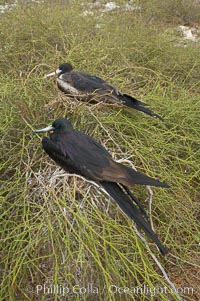 Magnificent frigatebird, adult male (foreground) and adult female (background), purple iridescense on scapular feathers of male identifies species, Fregata magnificens, North Seymour Island
