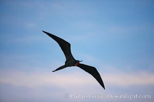 Magnificent frigatebird, adult male in flight, sunset, Fregata magnificens, Darwin Island