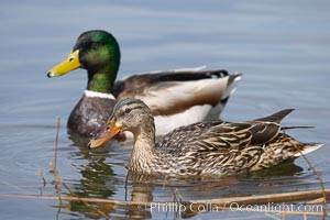 Mallard, female (foreground) and male, Anas platyrhynchos, Santee Lakes
