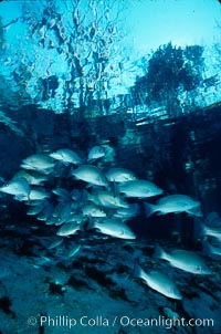 Mangrove snapper, Lutjanus griseus, Three Sisters Springs, Crystal River, Florida