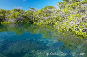 Mangrove shoreline.  Mangroves have vertical branches, pheumatophores, that serve to filter out salt and provide fresh water to the leaves of the plant.  Many juvenile fishes and young marine animals reside in the root systems of the mangroves.  Punta Albemarle. Isabella Island, Galapagos Islands, Ecuador, natural history stock photograph, photo id 16610