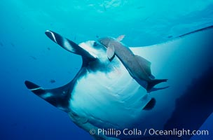 Manta ray and remora, Manta birostris, Remora sp., San Benedicto Island (Islas Revillagigedos), copyright Phillip Colla Natural History Photography, www.oceanlight.com, image #02456, all rights reserved worldwide.