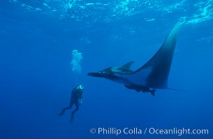 Manta ray and videographer, Manta birostris, San Benedicto Island (Islas Revillagigedos)