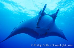 Manta ray, Isla San Benedicto, Manta birostris, San Benedicto Island