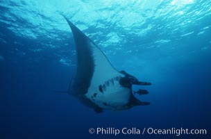 Image 05755, Manta ray, Isla San Benedicto., Manta birostris, Phillip Colla, all rights reserved worldwide. Keywords: animal, california, chondrichthyes, elasmobranch, elasmobranchii, giant manta ray, manta birostris, manta ray, mantaraya, mexico, myliobatidae, ocean, oceans, pacific, pacific manta ray, rajiformes, ray, revilligigedos islands, underwater, wildlife.