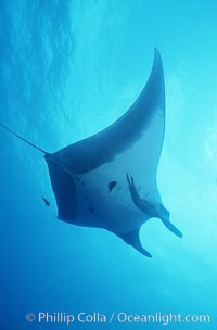 Manta ray, Isla San Benedicto, Manta birostris