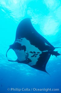 Manta ray. San Benedicto Island (Islas Revillagigedos), Baja California, Mexico, Manta birostris, natural history stock photograph, photo id 05760
