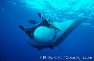 Pacific manta ray with remora. San Benedicto Island (Islas Revillagigedos), Baja California, Mexico, Manta birostris, Remora, natural history stock photograph, photo id 06235