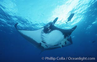 Pacific manta ray with remora, San Benedicto Island, Revilligigedos, Manta birostris, Remora