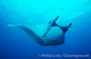 Pacific manta ray with remora. San Benedicto Island (Islas Revillagigedos), Baja California, Mexico, Manta birostris, Remora, natural history stock photograph, photo id 06237