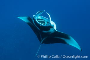 Manta Ray Feeding on Plankton, Fiji. Gau Island, Lomaiviti Archipelago, Fiji, Manta birostris, natural history stock photograph, photo id 31323