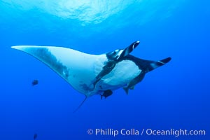 Giant Manta Ray at San Benedicto Island, Revillagigedos, Mexico. San Benedicto Island (Islas Revillagigedos), Baja California, Mexico, Manta birostris, natural history stock photograph, photo id 33289