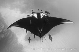 Giant Manta Ray at San Benedicto Island, Revillagigedos, Mexico. San Benedicto Island (Islas Revillagigedos), Baja California, Mexico, Manta birostris, natural history stock photograph, photo id 33309