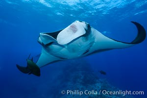 Giant Manta Ray at Socorro Island, Revillagigedos, Mexico. Socorro Island (Islas Revillagigedos), Baja California, Mexico, Manta birostris, natural history stock photograph, photo id 33288