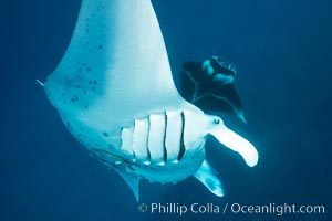 Manta Rays Feeding on Plankton, Fiji. Gau Island, Lomaiviti Archipelago, Fiji, Manta birostris, natural history stock photograph, photo id 31716