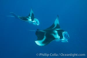 Manta Rays Feeding on Plankton, Fiji. Gau Island, Lomaiviti Archipelago, Fiji, Manta birostris, natural history stock photograph, photo id 31717
