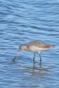 Marbled godwit, foraging on mud flats, Limosa fedoa, Upper Newport Bay Ecological Reserve, Newport Beach, California