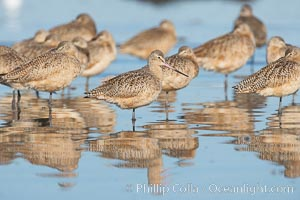 Marbled godwits resting on sand bar, Limosa fedoa, San Diego River
