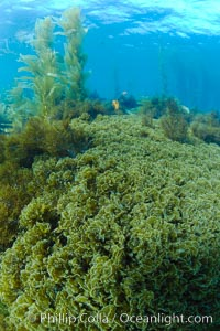Marine algae, various species, in shallow water underwater, Catalina Island