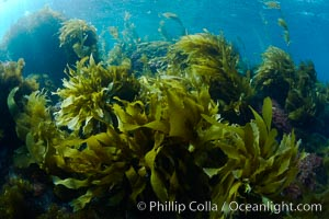Southern sea palms, palm kelp, Marine algae, various species, in shallow water underwater, Catalina Island