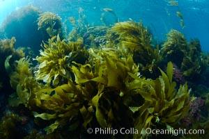Southern sea palms, palm kelp, Marine algae, various species, in shallow water underwater, Catalina Island