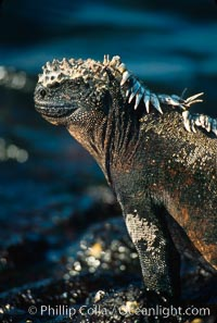 Marine iguana, Punta Espinosa, Amblyrhynchus cristatus, Fernandina Island