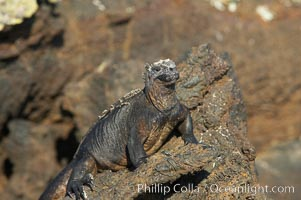 Marine iguana on volcanic rocks at the oceans edge, Punta Albemarle. Isabella Island, Galapagos Islands, Ecuador, Amblyrhynchus cristatus, natural history stock photograph, photo id 16572