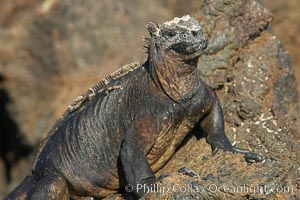 Marine iguana on volcanic rocks at the oceans edge, Punta Albemarle. Isabella Island, Galapagos Islands, Ecuador, Amblyrhynchus cristatus, natural history stock photograph, photo id 16573