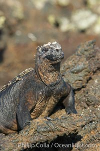 Marine iguana on volcanic rocks at the oceans edge, Punta Albemarle. Isabella Island, Galapagos Islands, Ecuador, Amblyrhynchus cristatus, natural history stock photograph, photo id 16574