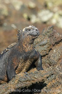 Image 16575, Marine iguana on volcanic rocks at the oceans edge, Punta Albemarle. Isabella Island, Galapagos Islands, Ecuador, Amblyrhynchus cristatus, Phillip Colla, all rights reserved worldwide. Keywords: above water, amblyrhynchus cristatus, animal, creature, ecuador, endemic species, galapagos, galapagos iguana, galapagos islands, iguana, isabella island, marine iguana, nature, oceans, pacific, reptile, sea iguana, wildlife, world heritage sites.