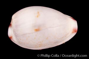 Marked Graceful Cowrie, Cypraea gracilis notata