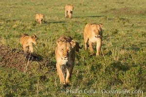 Marsh pride of lions, Maasai Mara National Reserve, Kenya, Panthera leo