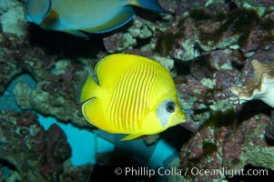 Masked butterflyfish, Chaetodon semilarvatus
