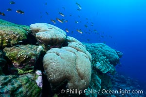 Massive round Porites lobata coral heads, Clipperton Island. Clipperton Island, France, Porites lobata, natural history stock photograph, photo id 33015