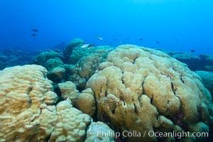 Massive round Porites lobata coral heads, Clipperton Island, Porites lobata