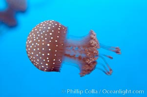 Mastigia sp. jellyfish, found in Micronesia, Mastigia