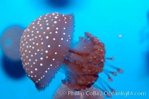 Mastigia sp. jellyfish, found in Micronesia, Mastigia