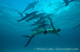 Atlantic spotted dolphin, Olympic swimmer Matt Biondi. Bahamas, Stenella frontalis, natural history stock photograph, photo id 00010