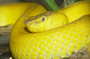 McGregors tree viper., Trimeresurus mcgregori, natural history stock photograph, photo id 12736