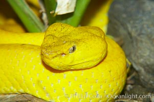 McGregors tree viper, Trimeresurus mcgregori