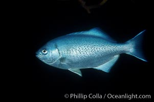 Half-moon perch, Medialuna californiensis, San Diego, California