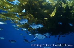 Half-moon perch school below offshore drift kelp. San Diego, California, USA, Medialuna californiensis, natural history stock photograph, photo id 07065
