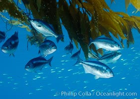 Half-moon perch school below offshore drift kelp, open ocean. San Diego, California, USA, Medialuna californiensis, natural history stock photograph, photo id 09987