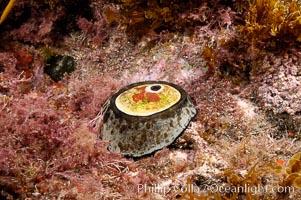Giant keyhole limpet attached to rock, surrounded by unidentified marine algae, Megathura crenulata, Guadalupe Island (Isla Guadalupe)