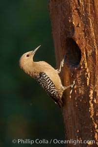 Gila woodpecker, female. Amado, Arizona, USA, Melanerpes uropygialis, natural history stock photograph, photo id 22937