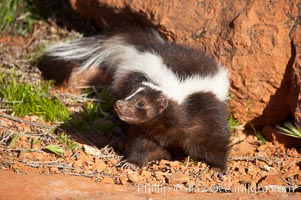 Striped skunk.  The striped skunk prefers somewhat open areas with a mixture of habitats such as woods, grasslands, and agricultural clearings. They are usually never found further than two miles from a water source. They are also often found in suburban areas because of the abundance of buildings that provide them with cover., Mephitis mephitis, natural history stock photograph, photo id 12068
