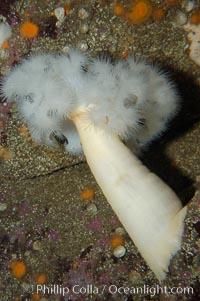 Plumose anemone, Metridium senile